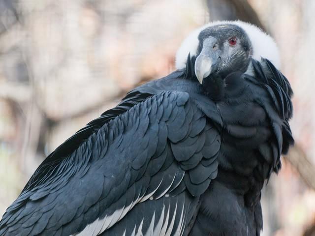 Cóndor de los Andes Vultur gryphus Avistamiento aves Salento Quindío