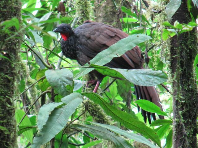 Pava Caucana Penelope perspicax avistamiento aves Quindío