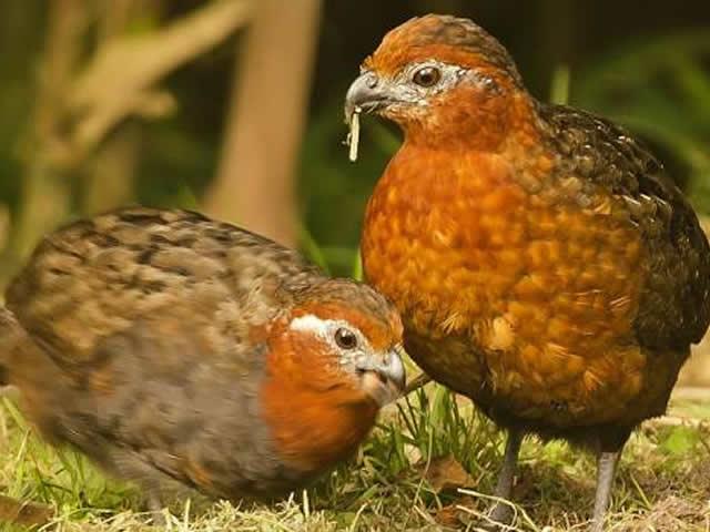 Perdiz Colorada o Odontophorus hyperythrus aves endémicas Quindío