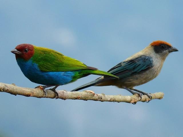 Tangaras aves Quindío