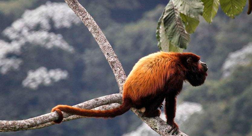 Avistamiento del Mono Aullador en Filandia, Quindío