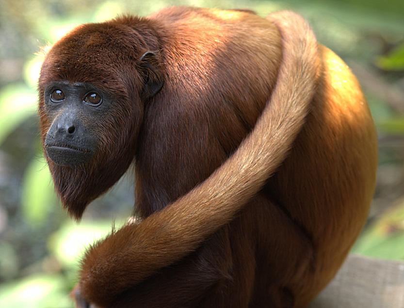 Avistamiento mono aullador